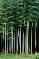 真っ直ぐな竹