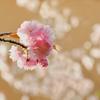 八重桜 和服の模様にどう?