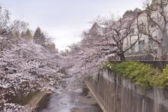 音無川桜ロード 3