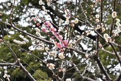 梅林坂の梅