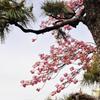 八重桜 松とコラボ