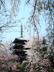 本土寺の桜 1