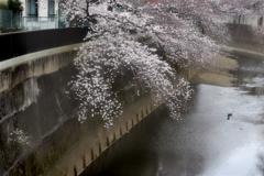 音無川桜ロード 2