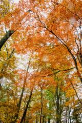 見上げれば紅葉の空
