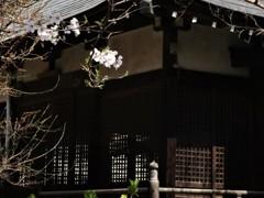 本土寺の桜 3