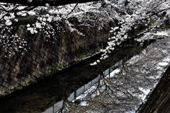 伝右川の桜 3