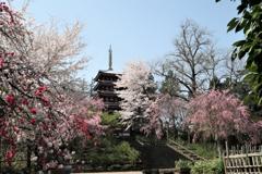 本土寺の桜 2