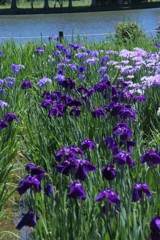 水辺の花しょうぶ