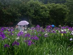花しょうぶ色の傘