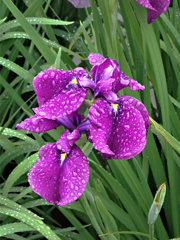 花しょうぶ 堀切菖蒲園2