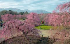 桜も良いけど梅もね