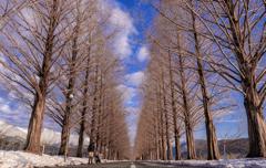 冬のメタセコイヤ並木①