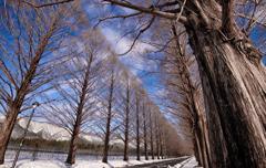 冬のメタセコイヤ並木②