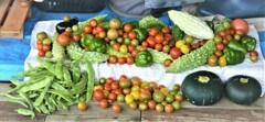 7月30日の夏野菜収穫 .