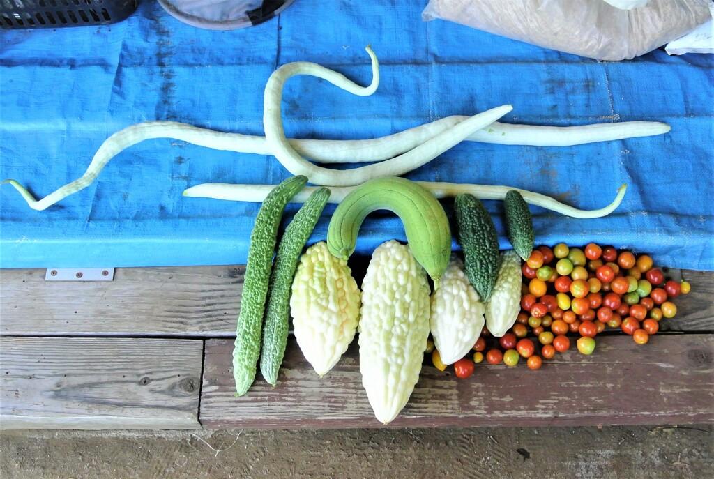 8月29日の夏野菜収穫