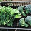 11月15日ちりめん冬菜とブロッコリー