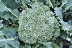 ブロッコリー(次回の収穫で採る予定)