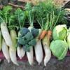 12月14日・冬野菜収穫(畑にて)