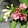 咲き始めたハコネウツギ