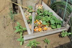 ゴミ箱に生えたカボチャとジャガイモ