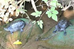 用水路のクサガメ(左)とイシガメ(右)