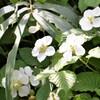 クサイチゴの花