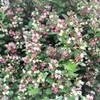 花だらけのハコネウツギ