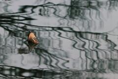 冬枯れの蓮池