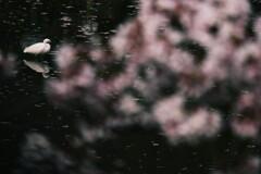 鷺池桜景色
