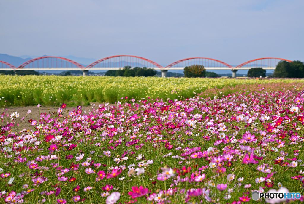 水道橋と秋桜