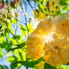黄色いバラ