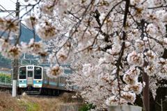 甚六桜 2