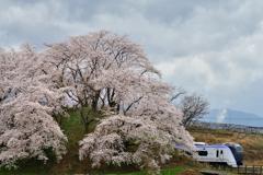 甚六桜 1