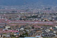 ピンクの絨毯(桃の花)