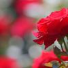 薔薇(18)