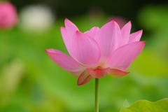 蓮花(3)