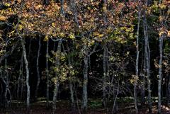 南京ハゼの林
