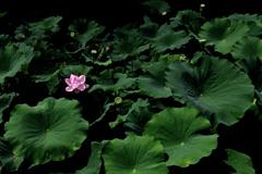 ハスの花(4)