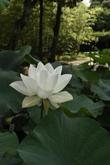蓮の花(3)