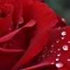 薔薇(12)