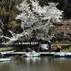 奈良公園の春(3)