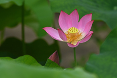 蓮の花(1)