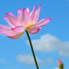 蓮の花(5)