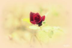 ミニミニ薔薇