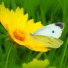 黄色いお花と蝶々さん