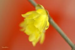 春色灯す一輪の梅