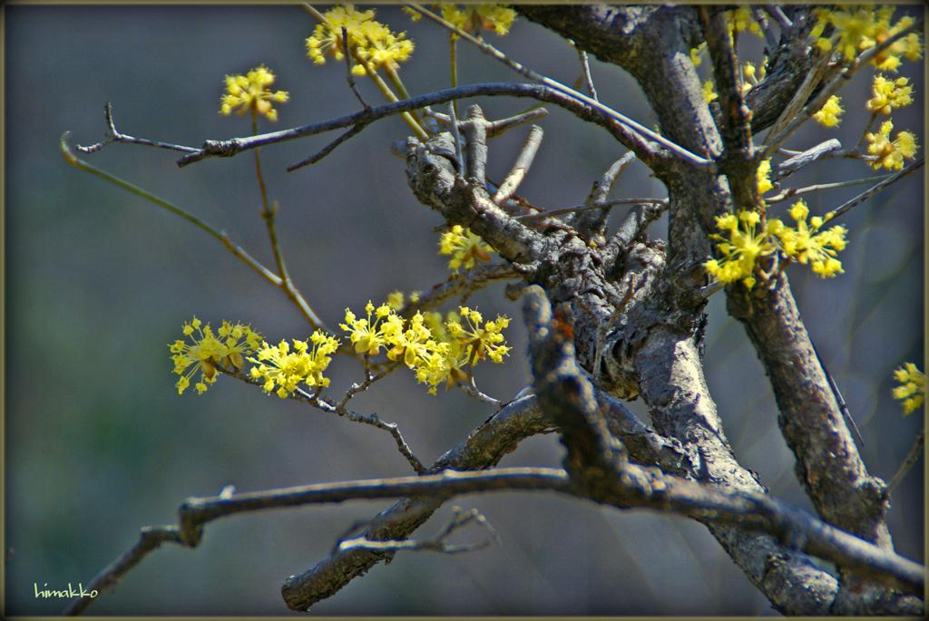 山茱萸のお花