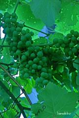 未熟な葡萄