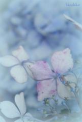 雨が似合う紫陽花も時には悲しみブルー
