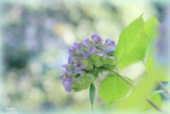 11月の紫陽花(2020)